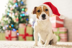 Christmas is love. Dog Jack Russell Terrier in a house decorated with a Christmas tree and gifts wishes happy Holiday and Christmas Eve
